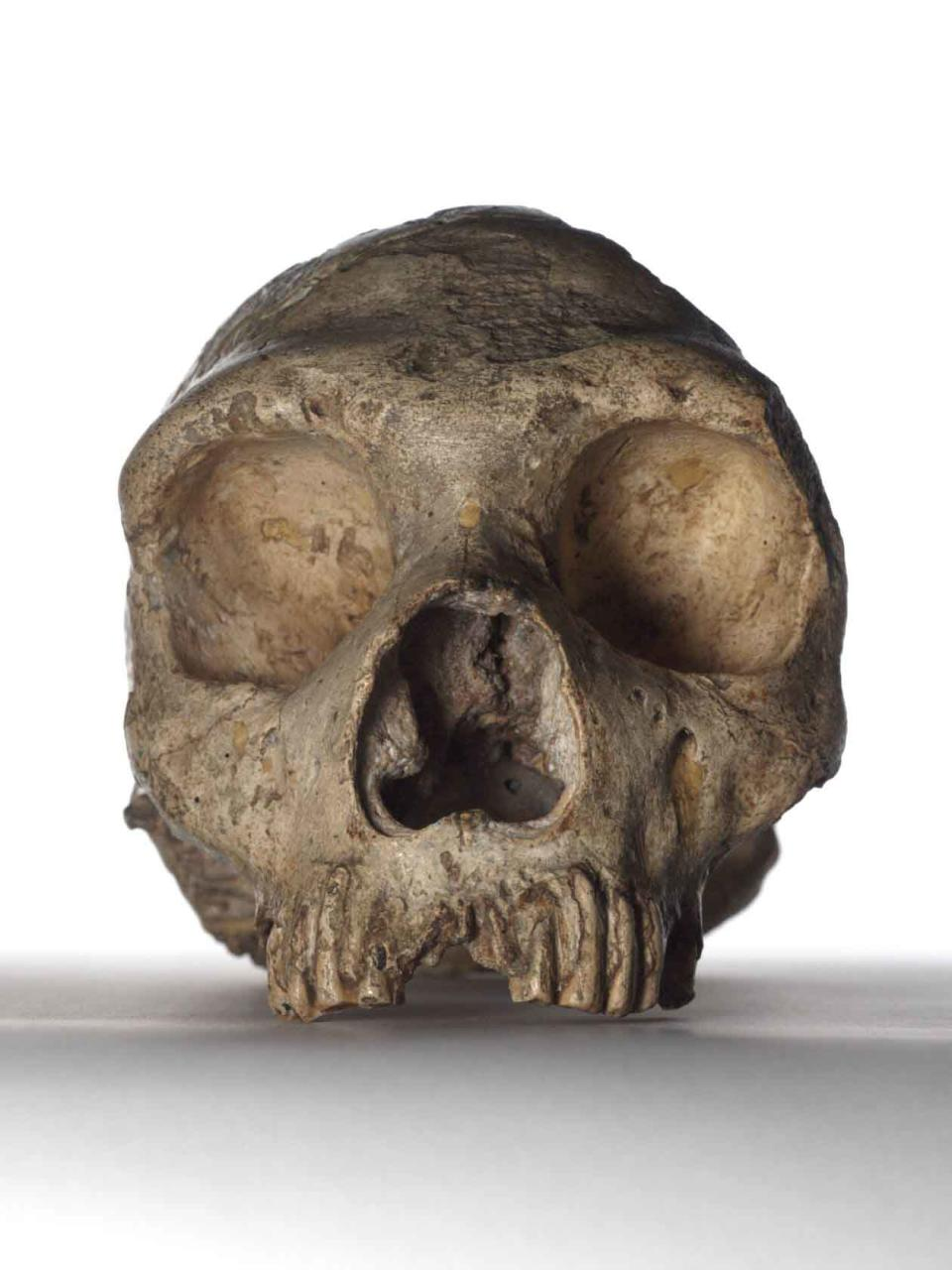 Neanderthal skull – about 50,000 years old, this adult female Neanderthal skull it was the first Neanderthal skull ever discovered. Neanderthals were our closest known relative and this specimen helped to begin the science of palaeoanthropology – the study of ancient humans. (Natural History Museum)
