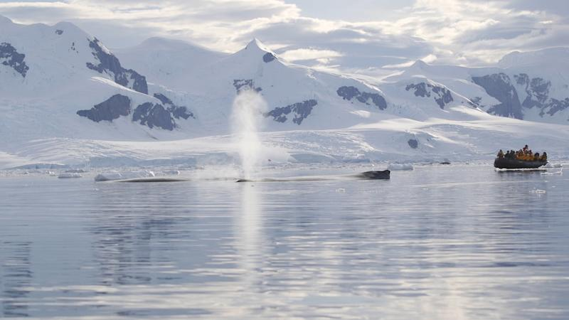 <strong>Humpback whales in Antarctica</strong> (Dawn Kelly)