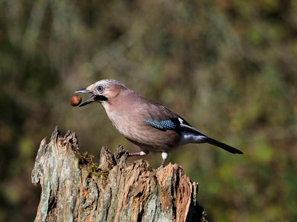 Jays may be responsible for planting as many as one in two oak trees, and  research suggests they cultivate young oaks to feed fresh new leaves to their chicks (Getty)
