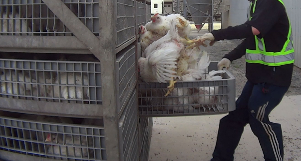 An undercover video shot by the non-profit animal advocacy group Mercy for Animals sparked an investigation into allegations of cruelty. (Mercy for Animals - image credit)