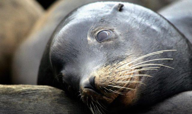 US allows killing of sea lions because they're eating struggling Northwest salmon
