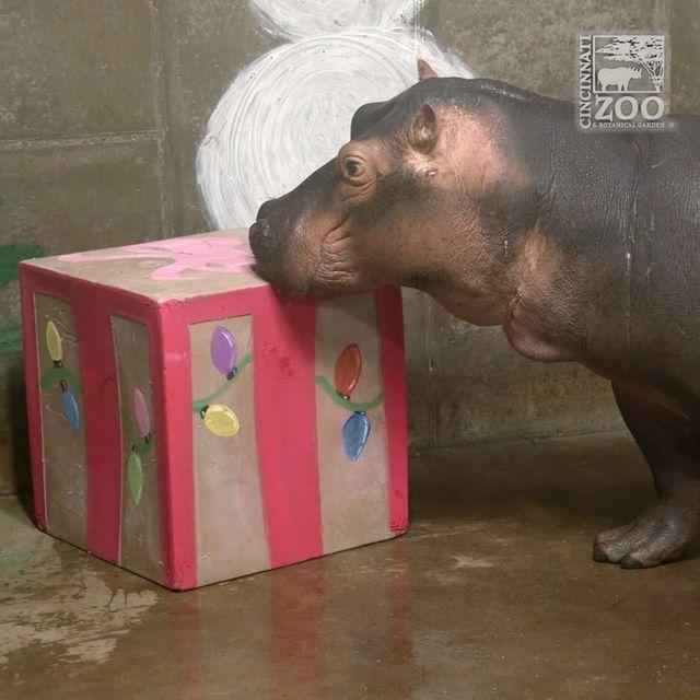 """<p>Last year, Santa made a visit to the Cincinnati Zoo's animals, dropping off gifts for the red pandas, cheetah and an extra-big box for <a href=""""https://people.com/pets/fiona-the-hippo-celebrating-her-first-christmas-is-the-best-gift-you-didnt-know-you-needed/"""" rel=""""nofollow noopener"""" target=""""_blank"""" data-ylk=""""slk:its most famous resident, Fiona the hippo"""" class=""""link rapid-noclick-resp"""">its most famous resident, Fiona the hippo</a>.</p>"""