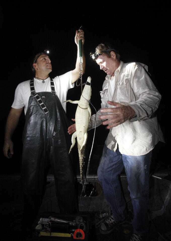 In this Nov. 28, 2011 photo, wildlife biologists Michael Cherkiss, left, with the U.S. Geological Survey and Joseph Wasilewski weigh a small crocodile that they captured in a cooling canal adjacent to the Turkey Point Nuclear Power Plant, during a nighttime survey of the crocodiles in the area in Homestead, Fla. The crocodile monitoring program began in 1978, a year after employees stumbled upon a crocodile nest in the plant's cooling canal system. The initial goal was to ensure that the plant did no harm to the species but over the last three decades it has helped raise the number of crocodiles to more than 1,500 today. It is now classified as threatened, a small step toward the specie's survival. (AP Photo/Wilfredo Lee)