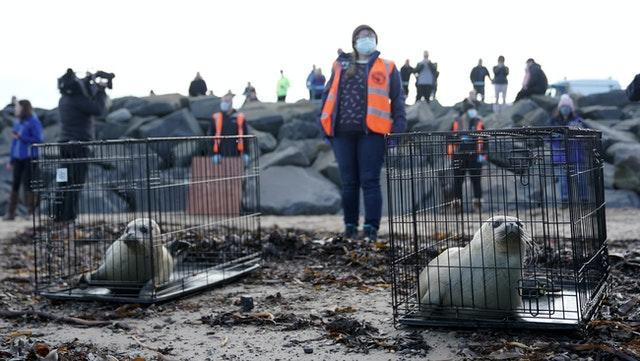 Staff from British Divers Marine Life Rescue (BDMLR) and Tynemouth Aquarium release three seal pups at St Mary's Lighthouse in Whitley Bay, they were rescued after being found abandoned on the North East coast