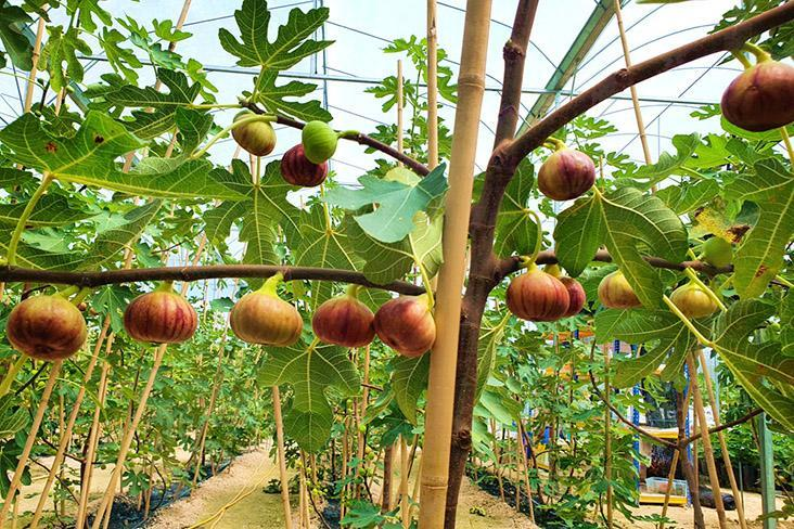 Figs can thrive in our tropical climate.