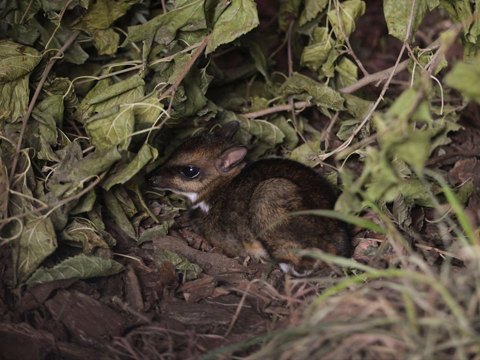 Philippine mouse-deer, born at Zoo Wroclaw, Poland on 10 November (via REUTERS)