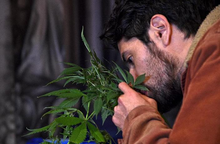 A man smells a marijuana plant in Bogota, Colombia on December 22, 2015 (AFP Photo/Guillermo Legaria)