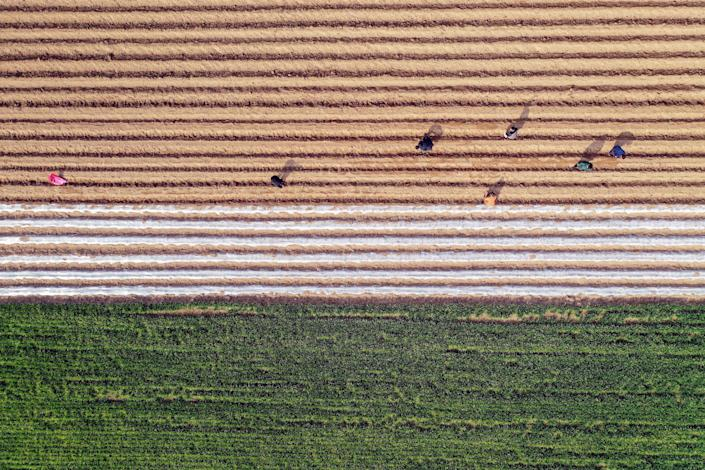 An aerial view shows farmers working in a herb field in Bozhou in China's eastern Anhui province on March 6, 2019. (Photo by STR / AFP) / China OUT (Photo credit should read STR/AFP/Getty Images)