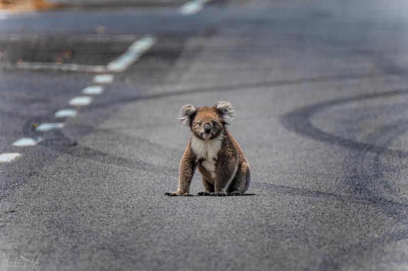 Pictured: A koala sits stranded on a road after its habitat was cleared: Source Getty