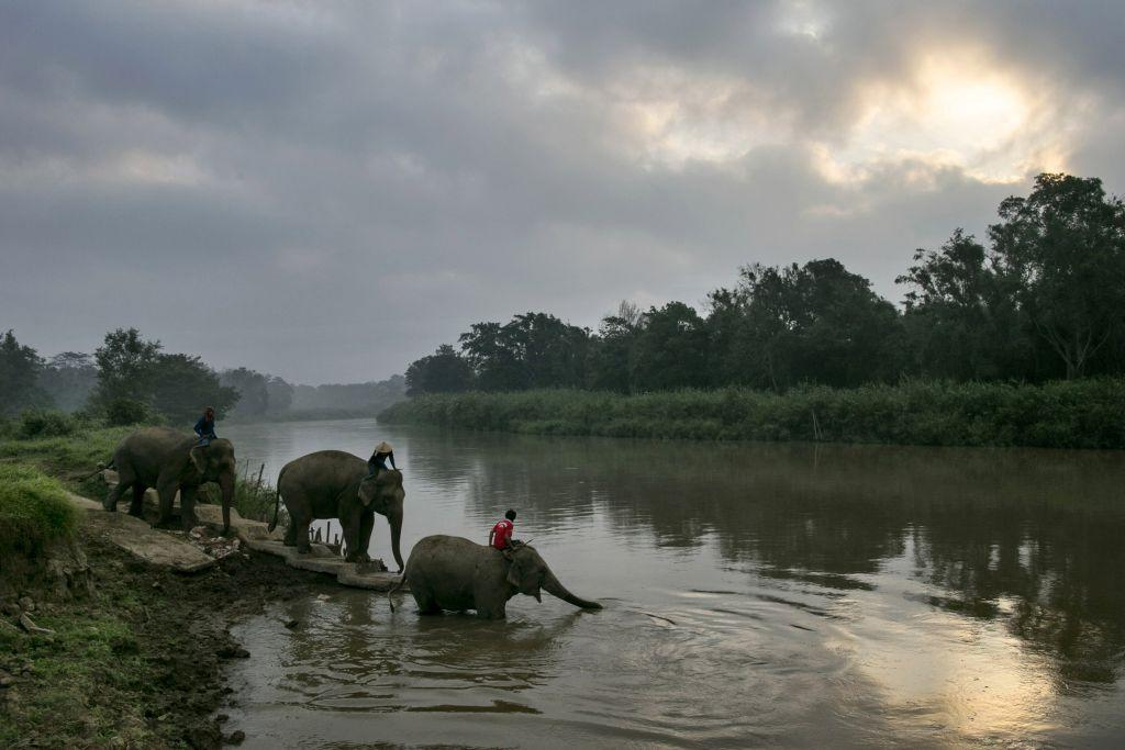 Thai elephants head to the river for an early morning bathe at an elephant camp at the Anantara Golden Triangle resort in Golden Triangle, northern Thailand.