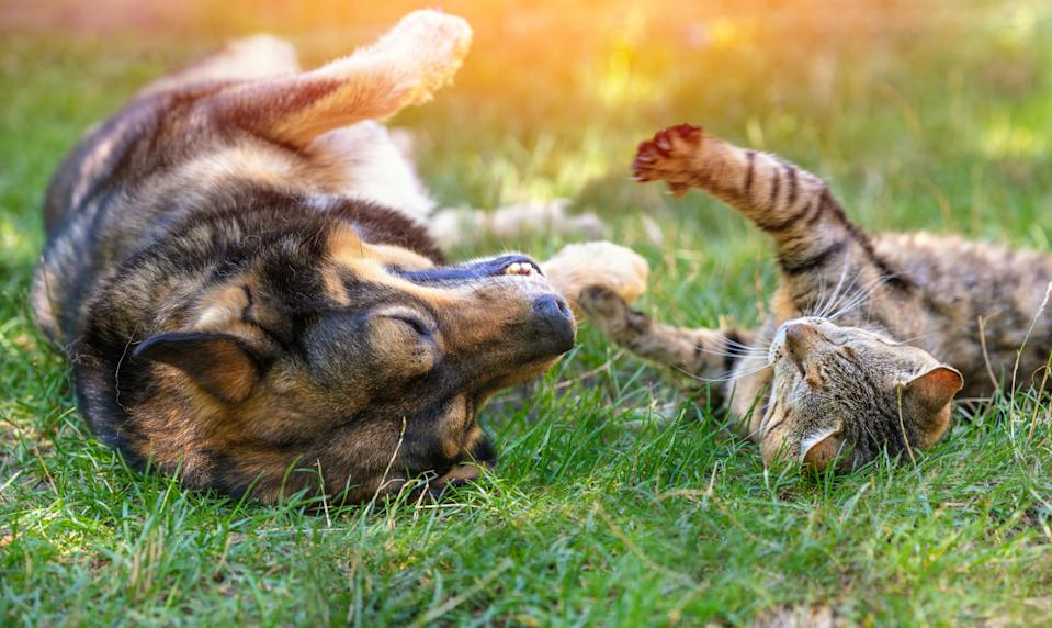 Dog and cat best friends playing together outdoors. Lying on the back together