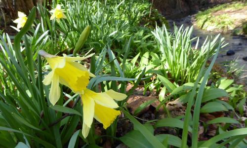Country diary: my heart dances with the daffodils