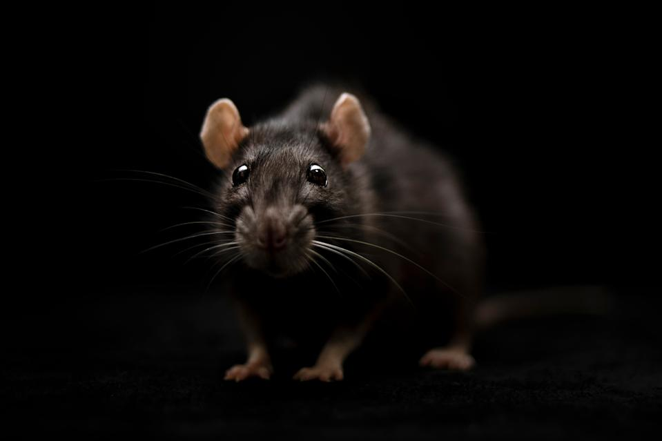 We're already dealing with a pandemic, let's not have to worry about rats in our midst, too. (PHOTO: Getty Images)