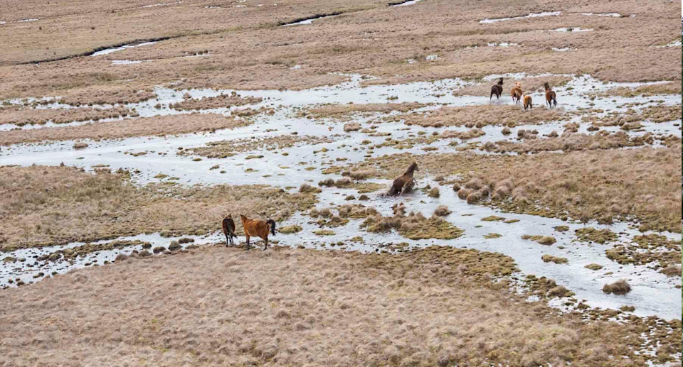 Debate continues to rage over whether wild horses should be allowed to graze within Kosciuszko National Park. Source: Reclaim Kosci