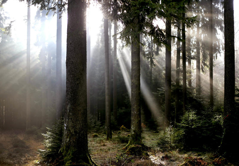 In this Friday, Oct. 27, 2017 file photo, sunlight falls through the trees in a forest in the outskirts of Frankfurt, Germany. The sight of bare trees has stoked debate in Germany about the impact of climate change and what measures this heavily industrialized nation should be taking to adapt to and prevent global warming. (AP Photo/Michael Probst)