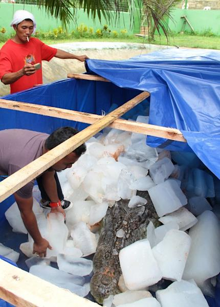 A worker puts ice blocks on the remains of the 6.17 metre long saltwater crocodile named 'Lolong,' on February 11, 2013, in the town of Bunawan, Agusan del Sur province on the southern Philippine island of Mindanao. Lolong, world's largest saltwater crocodile in captivity, has died, 17 months after it was captured and displayed in a small pond