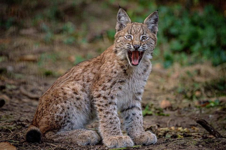 The four-month-old Lynx kittens live at the Bear Wood exhibit at the Wild Place Project, near Bristol (Ben Birchall/PA) (PA Wire)