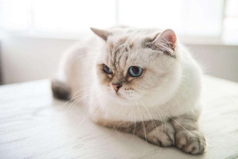 "<p>Named for the graceful dancers on the island of Bali, the Balinese cat is a<a href=""https://www.rover.com/blog/small-cat-breeds/"" rel=""nofollow noopener"" target=""_blank"" data-ylk=""slk:long-haired version of the Siamese"" class=""link rapid-noclick-resp""> long-haired version of the Siamese</a>, according to Rover. </p>"