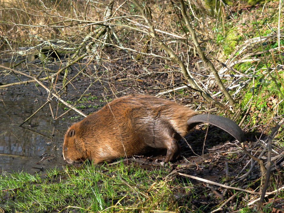 Male beaver at water's edge in its new home in Dorset (Dorset Wildlife Trust/ James Burland/PA)