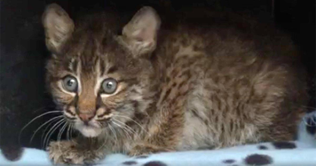 Tennessee Woman Almost Adopts a Wild Bobcat