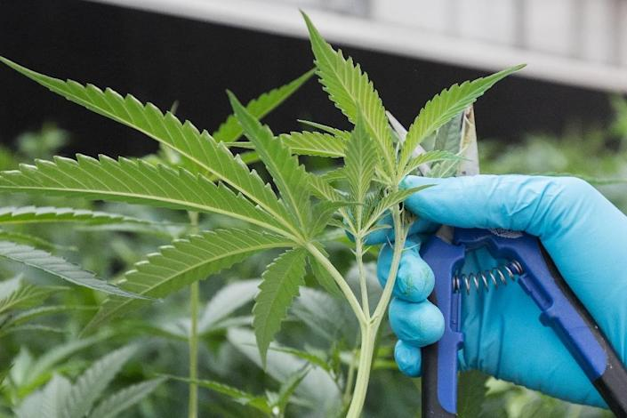 Several nations have legalised medicinal cannabis, including Canada, Australia, Israel, and more than half the states in the US (AFP Photo/Lars Hagberg)