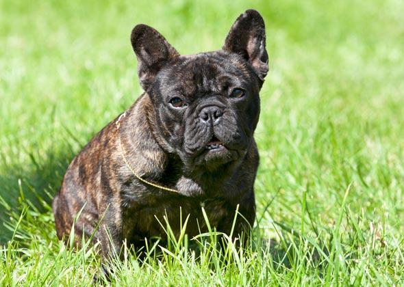 """<div class=""""caption-credit""""> Photo by: Thinkstock</div><b>French Bulldog</b> <br> <a rel=""""nofollow noopener"""" href=""""http://www.vetstreet.com/dogs/french-bulldog?WT.mc_id=cc_yahoo"""" target=""""_blank"""" data-ylk=""""slk:French Bulldogs"""" class=""""link rapid-noclick-resp"""">French Bulldogs</a> actually originated in Nottingham, England, where small Bulldogs were popular pets with local laceworkers who used the canines to rid workrooms of pesky rats. When some of the lacemakers moved to France, where their skills were in demand, they took their beloved pups with them - and the dogs eventually took on the name of their new country. <br>"""