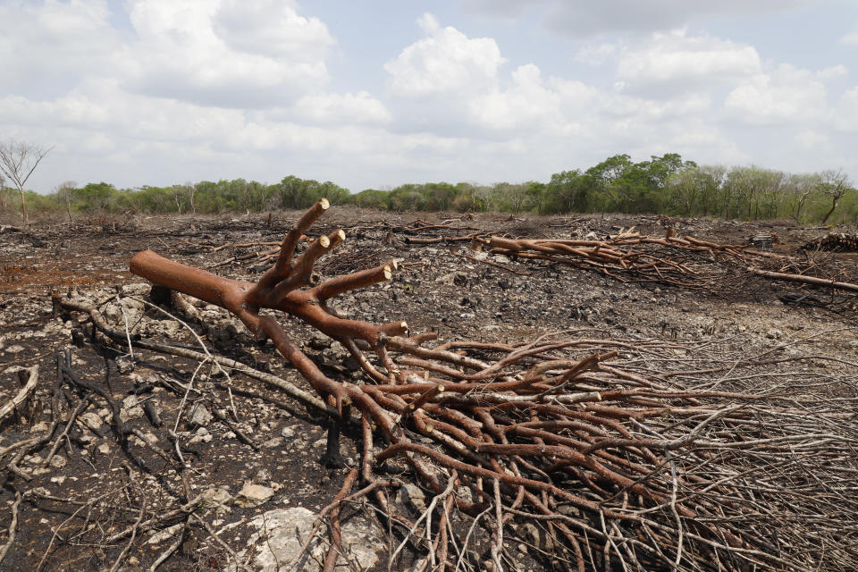 Trees are felled before seedlings are planted at a Planting Life site, a jobs and reforestation program promoted by Mexican President Andres Manuel Lopez Obrador, in Kopoma, Yucatan state, Mexico, Thursday, April 22, 2021. President Lopez Obrador is making a strong push for his oft-questioned tree-planting program, trying to get the United States to help fund expansion of the program into Central America as a way to stem migration. (AP Photo/Martin Zetina)