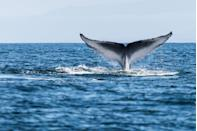 "<p>The world's largest animal's heart weighs <a href=""https://blog.education.nationalgeographic.org/2015/08/31/how-big-is-a-blue-whales-heart/"" rel=""nofollow noopener"" target=""_blank"" data-ylk=""slk:about 400 pounds"" class=""link rapid-noclick-resp"">about 400 pounds</a> — approximately the size of a small piano.</p><p><strong>RELATED: </strong><a href=""https://www.goodhousekeeping.com/life/travel/g22117242/whale-facts-photos/"" rel=""nofollow noopener"" target=""_blank"" data-ylk=""slk:15 Amazing Whale Facts That Prove Just How Majestic They Are"" class=""link rapid-noclick-resp"">15 Amazing Whale Facts That Prove Just How Majestic They Are</a></p>"