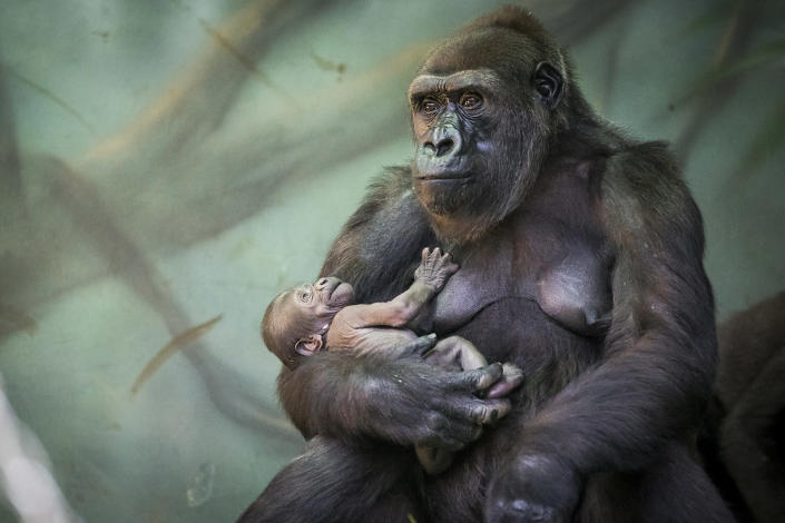 <p>Gorilla Kira holds her baby at Moscow's zoo, Russia, Aug. 4, 2016. The baby was born on July, 22 and she's already living with her mother and other gorillas. (AP Photo/Alexander Zemlianichenko) </p>