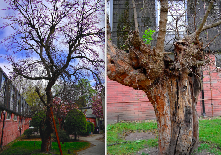 The tree was later made part of the grounds of what became the former London Chest Hospital. (SWNS)