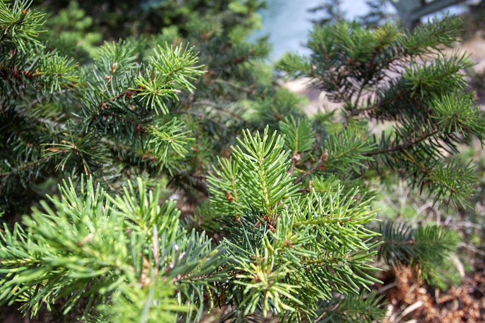 "<p>One of the <a href=""http://www.realchristmastrees.org/dnn/Education/Tree-Varieties/DouglasFir"" rel=""nofollow noopener"" target=""_blank"" data-ylk=""slk:top Christmas trees"" class=""link rapid-noclick-resp"">top Christmas trees</a> in the United States, according to The National Christmas Tree Association, Douglas Firs are popular <a href=""https://www.proflowers.com/blog/16-types-of-christmas-trees"" rel=""nofollow noopener"" target=""_blank"" data-ylk=""slk:because of their perfect pyramid shape"" class=""link rapid-noclick-resp"">because of their perfect pyramid shape</a>. Also, since they radiate needles in all directions, Douglas Firs tend to be nice and full. ""While not a true fir, Douglas can be found on every tree farm,"" says A.D. Ali, Ph.D., Manager of Technical Services at the Davey Institute of <a href=""https://www.davey.com/about/the-davey-institute/technical-services/"" rel=""nofollow noopener"" target=""_blank"" data-ylk=""slk:The Davey Tree Expert Co"" class=""link rapid-noclick-resp"">The Davey Tree Expert Co</a>. ""<strong>With dark green or blue-green colored needles that are soft to the touch and a sweet scent</strong>, Douglas firs hold strong as a favorite. Be warned, though — this tree will drop its needles if it doesn't get enough water."" </p>"
