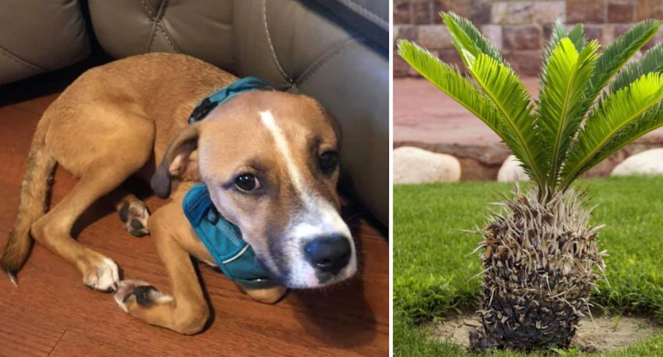 Photo of Rocky who died after ingesting part of a highly toxic sago palm in Louisiana.
