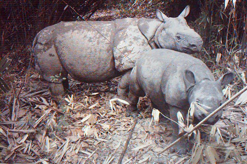 A rare image from 2012 shows a critically endangered Java rhino taking care of its calf at Indonesia's Ujung Kulon National Park (AFP Photo/UJUNG KULON NATIONAL PARK)