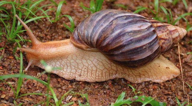 According to the Department of Agriculture and Water Resources, the snails feed on more than 500 species of plants. Photo: Getty