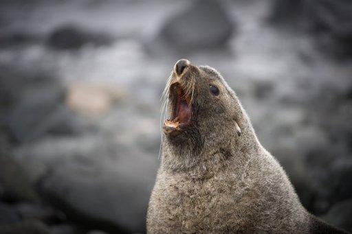 A fur seal is pictured on the shore of King George Island, Antarctica, in 2008. An international conference has failed to agree on new marine sanctuaries to protect thousands of polar species across Antarctica, sparking condemnation Friday from conservation groups
