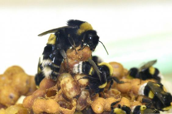 Worker bees are sterile females who make up the largest percentage of bees in a hive. This image shows bumblebee queen and workers caring for brood (Rachel Rosen)