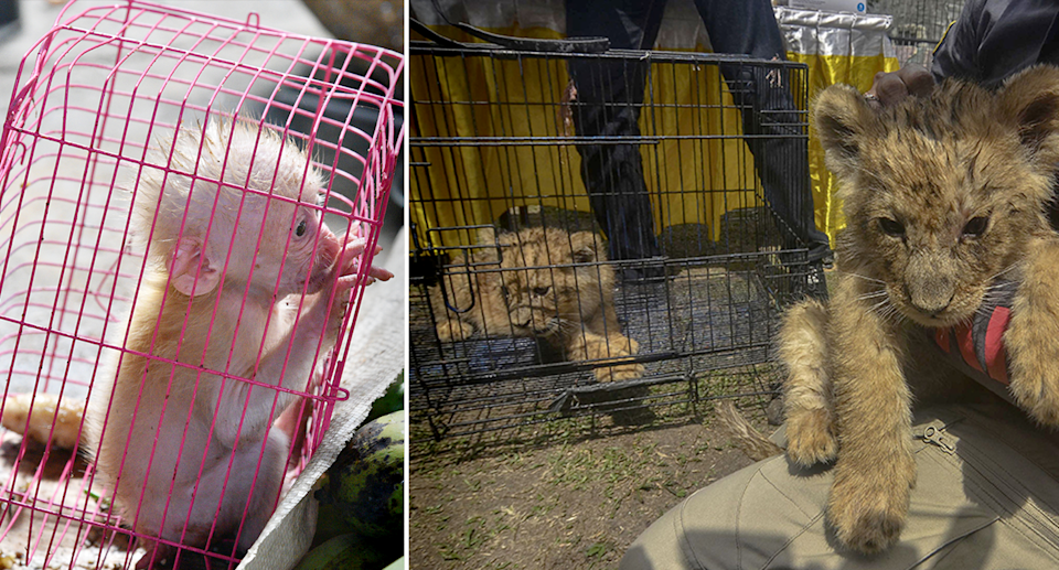 Left - a tiny monkey in a pink cage. Right - Rescued lion cubs.