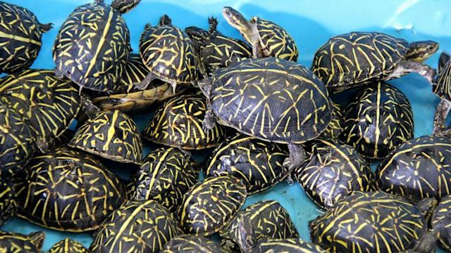 Trafficking ring involving thousands of turtles uncovered by Florida wildlife officials (ABC News)