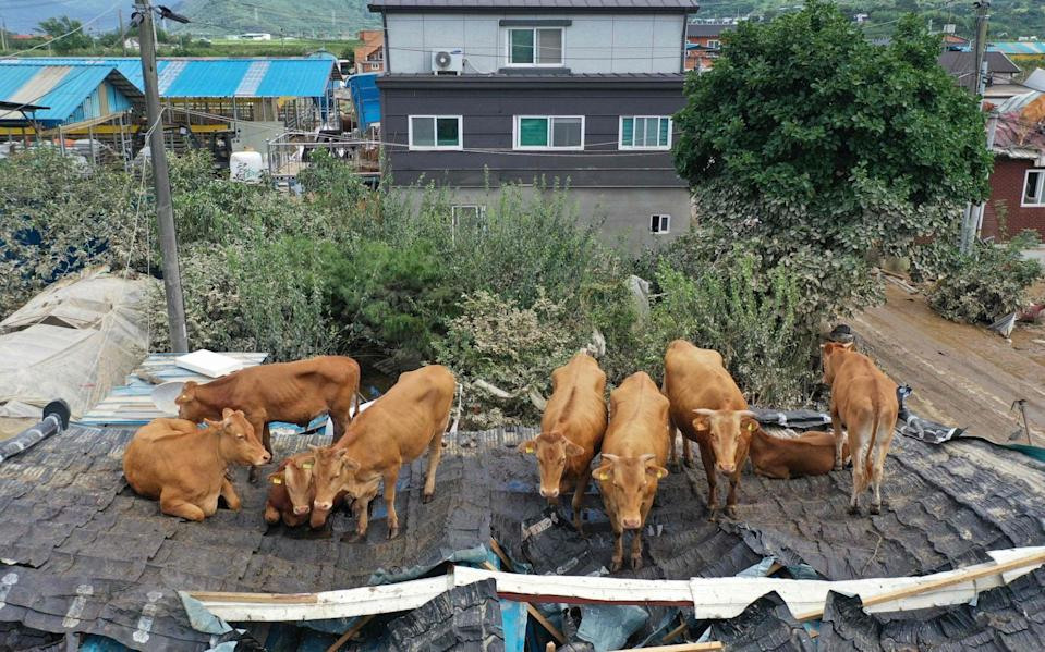 The cows became stuck on the roof after seeking refuge from the flood waters - STR/AFP