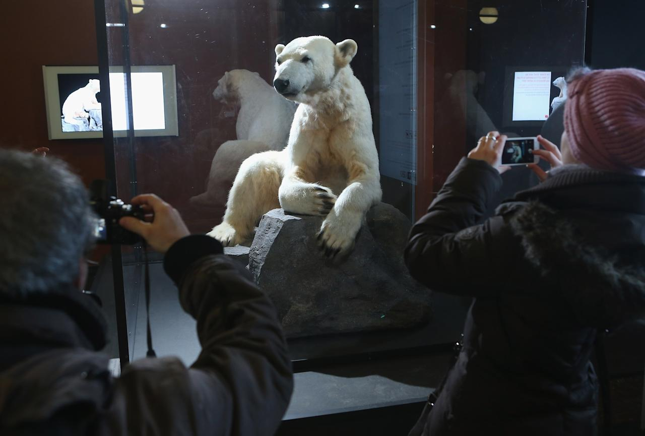 BERLIN, GERMANY - FEBRUARY 16:  Visitors photograph a model of Knut the polar bear on the first day it was displayed to the public at the Natural History Museum on February 16, 2013 in Berlin, Germany. Though Knut, the world-famous polar bear from the Berlin zoo abandoned by his mother and ultimately immortalized as a cartoon film character, stuffed toys, and more temporarily as a gummy bear, died two years ago, he will live on additionally as a partially-taxidermied specimen in the museum. Until March 15, the dermoplastic model of the bear will be on display before it joins the museum's archive, though visitors can see it once again as part of a permanent exhibition that begins in 2014.  (Photo by Sean Gallup/Getty Images)