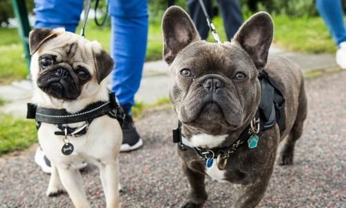 Popularity of pug-like dogs 'could be fuelling rise in canine fertility clinics'. Investigation links boom in flat-faced canines to rise in clinics, some of which advertise banned procedures