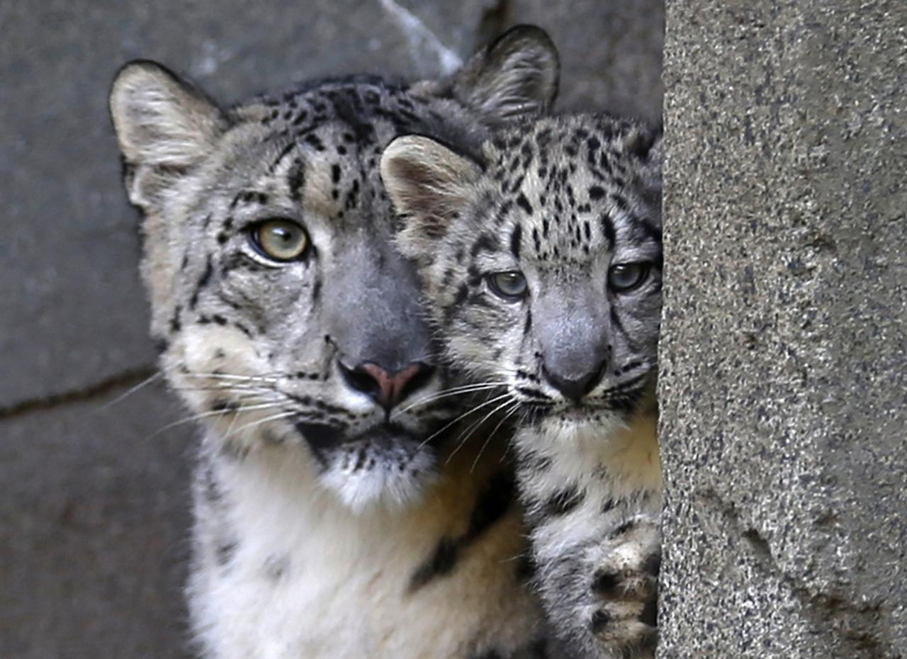 A three month old snow leopard cub (R) and his mother Sarani are seen at the Brookfield Zoo in Brookfield, Illinois, September 18, 2013. REUTERS/Jim Young (UNITED STATES - Tags: ANIMALS)