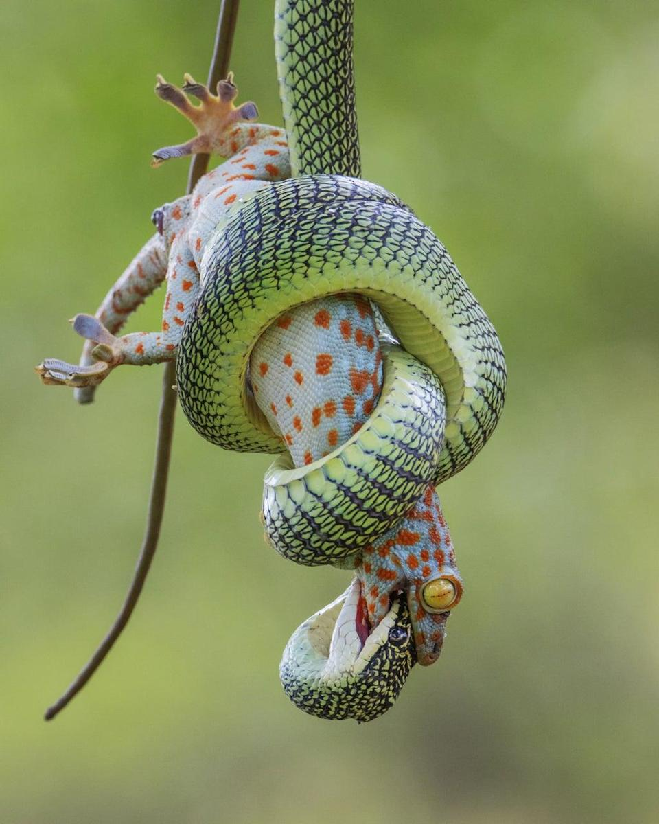 A red-spotted tokay gecko clutched in the coils of a golden tree snake in Bangkok, Thailand, which was highly commended in Wildlife Photographer of the Year Behaviour: Amphibians and Reptiles Award (Wei Fu/Wildlife Photographer of the Year) (PA Media)