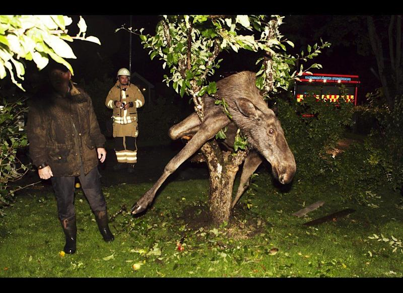 A moose is seen stuck in an apple tree in Gothenburg, Sweden, September 6, 2011. The police believe the moose was trying to eat apples from the tree and became intoxicated by fermented apples. The moose was freed by police officers and after a dose on the lawn, he sobered up and returned to the woods.