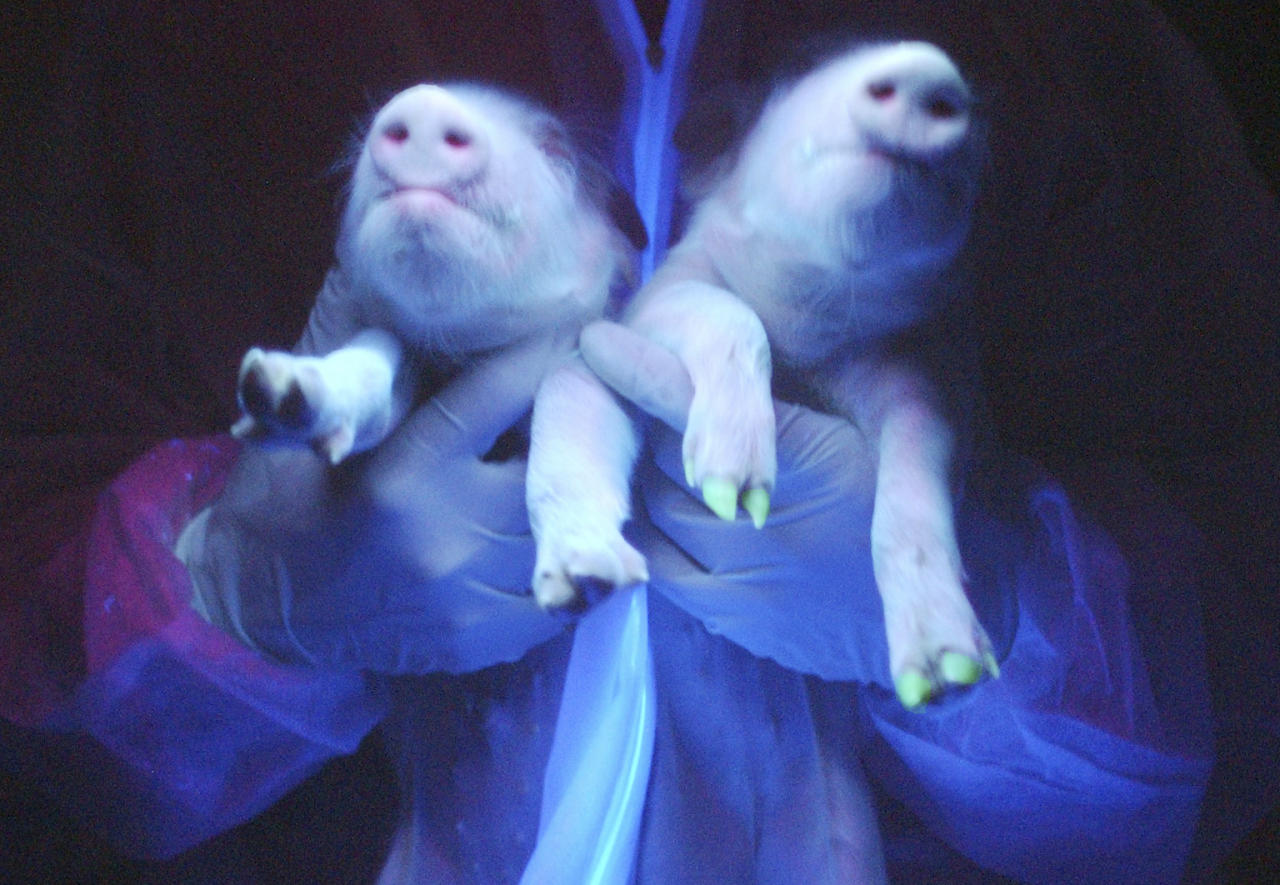 Two transgenic pigs are irradiated under ultraviolet radiation showing their green fluorescence protein (GFP) feature at a hogpen in Harbin, northeast China's Heilongjiang province December 26, 2006. China's first three transgenic pigs were bred successfully, China Daily reported. CHINA OUT REUTERS/China Daily (CHINA)
