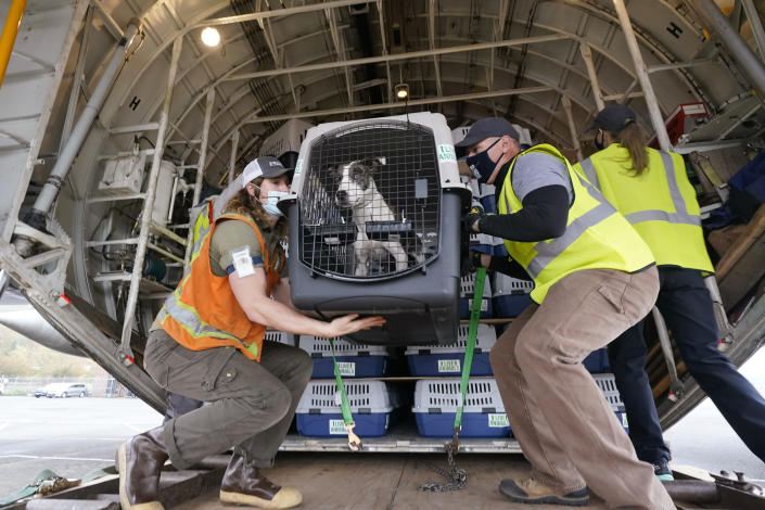 """Workers unload a dog from a cargo plane after the landing of a """"Paws Across the Pacific"""" pet rescue flight Thursday, Oct. 29, 2020, in Seattle. Volunteer organizations flew more than 600 dogs and cats from shelters across Hawaii to the U.S. mainland, calling it the largest pet rescue ever. The animals are being taken from overcrowded facilities in the islands to shelters in Washington state, Oregon, Idaho, and Montana. (AP Photo/Elaine Thompson)"""