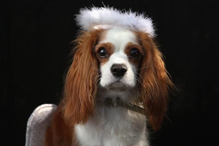 King Charles Spaniel Daisy poses as an angel at the Tompkins Square Halloween Dog Parade. (Photo by John Moore/Getty Images)