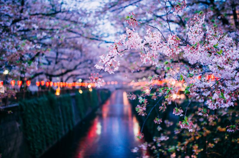 <div>For these late-night picnics, known as 'yozakura,' the Japanese hang paper lanterns in cherry blossom trees to illuminate them.   </div>