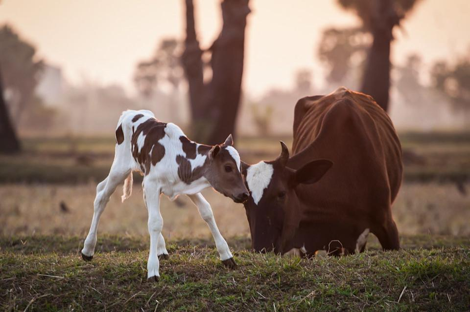 Baby calf and mother
