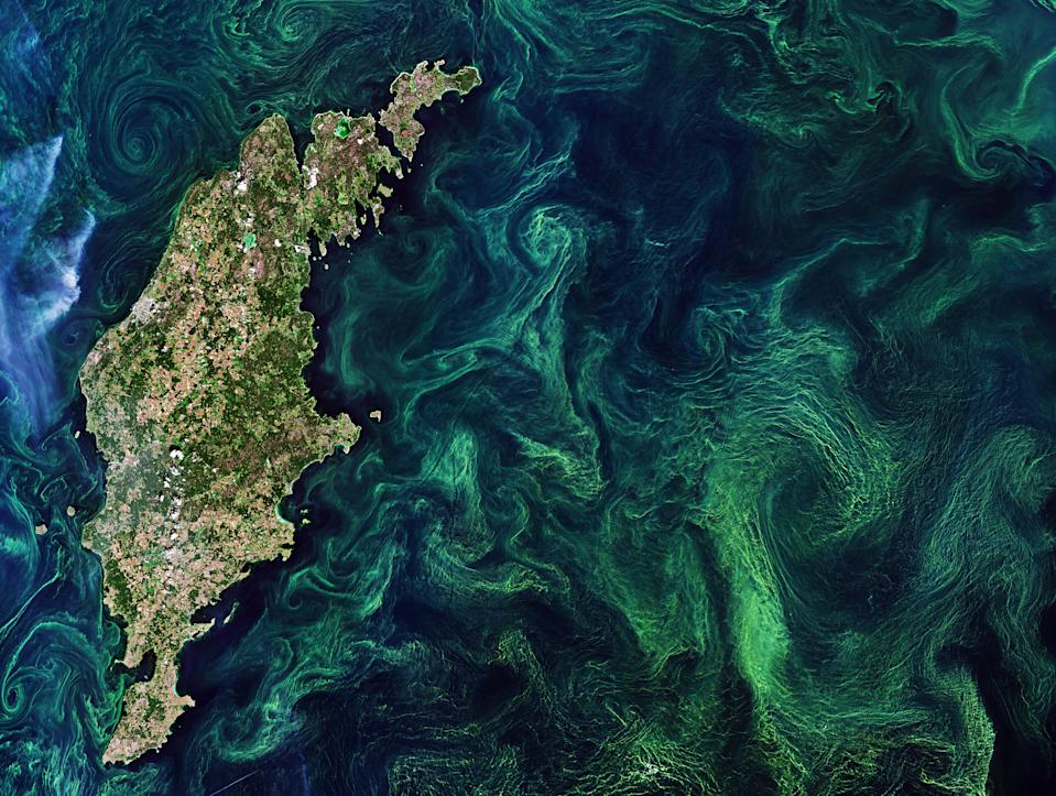 Green algae blooms swirl across the Baltic Sea in this image from the European Space Agency's Copernicus Sentinel-2 satellite. The green color comes from chlorophyll in the phytoplankton, or microscopic plants that drift at the surface of the water. The chlorophyll makes these algae blooms visible from space, allowing satellites to track the tiny organisms.